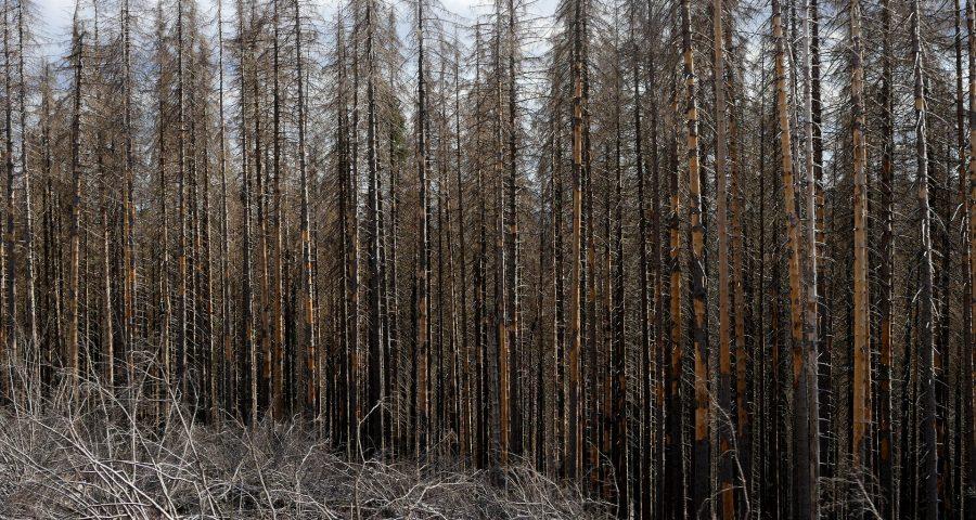Toter Wald Borkenkäfer